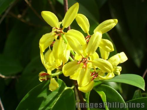 """""""Yellow Flower"""",  Place Taken: Davao take on  Date Taken: 2009"""