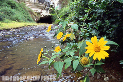 Wild sunflowers in Echo Valley, near the entrance to the 