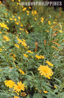 Wild Sunflowers in Echo Valley.,  Place Taken: Mountain Province take on  Date Taken: 2002