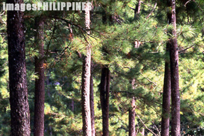Pine trees in the Kiltepan Forest.