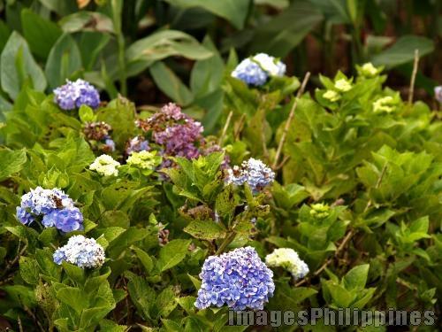 """""""Purple Flower Bunch"""",  Place Taken: Cavite take on  Date Taken: 2008"""
