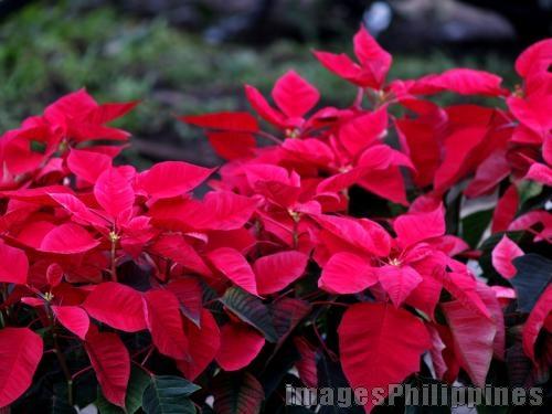 """""""Christmas Flowers"""",  Place Taken: Cavite take on  Date Taken: 2008"""