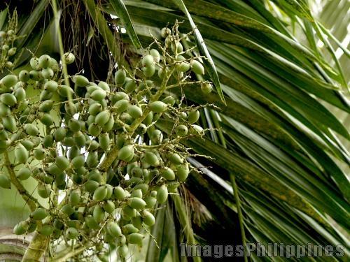 """""""Green Fruits"""",  Place Taken: Cavite take on  Date Taken: 2008"""