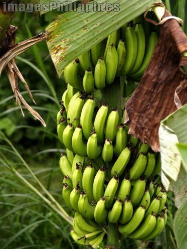 """""""Banana on Tree"""",  Place Taken: Cavite take on  Date Taken: 2008"""