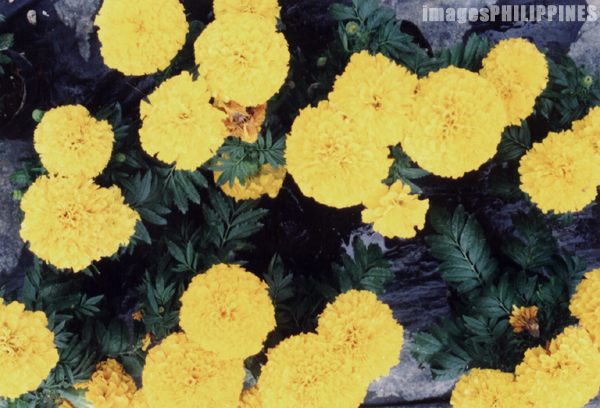 """Carnations in King Louis' Flower Farm"",  Place Taken: Baguio City, Benguet take on  Date Taken: 2002"