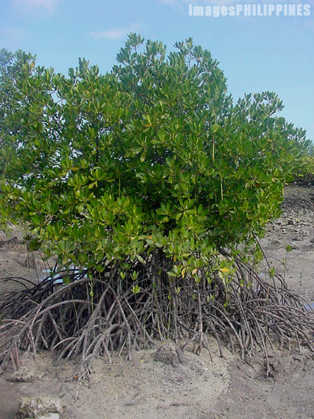 """Young Mangrove Tree in Malapascua""