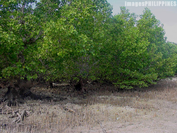 """Mangrove Trees during Low Tide in Malapascua""