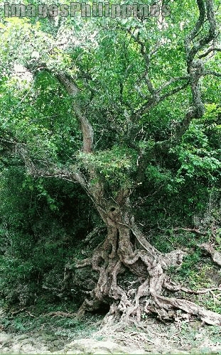 """Old Tree along Loboc River"", 