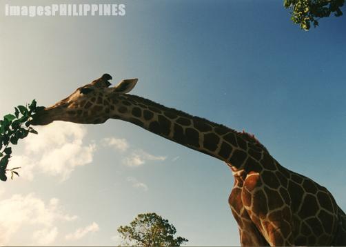 """""""Giraffes in Calauit"""",  Place Taken: Palawan take on  Date Taken: 2000"""