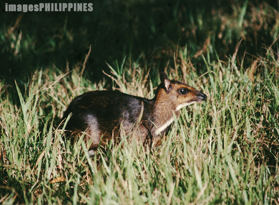 """Mousedeer Pilandok""