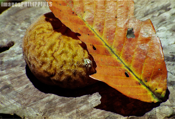 """Mabolo, Leaf, and Spider""
