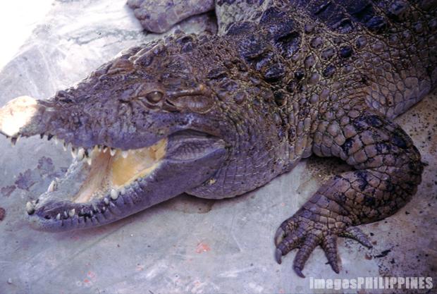 """""""Palawan Crocodile"""",  Place Taken: Puerto Princesa, Palawan take on  Date Taken: 1996"""