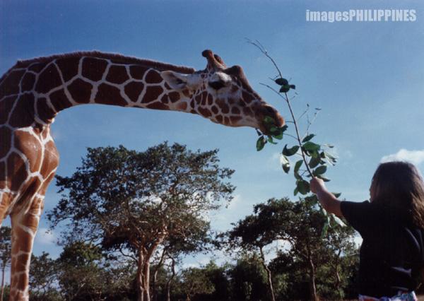 """""""Giraffe in the Wildlife Sanctuary"""",  Place Taken: Calauit Island, Palawan take on  Date Taken: 1997"""