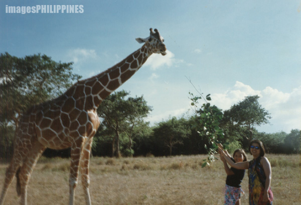 """Giraffe in the Wildlife Sanctuary"", 