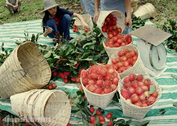 """""""Rambutan Harvest"""",  Place Taken: Lipa City take on  Date Taken: 2002"""