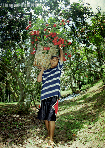 """Rambutan Harvester"", 