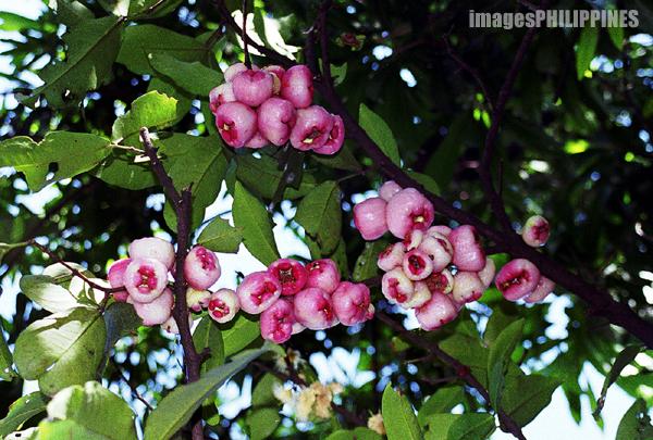 """Macopa Fruits"",  Place Taken: Quezon City take on  Date Taken: 2003"