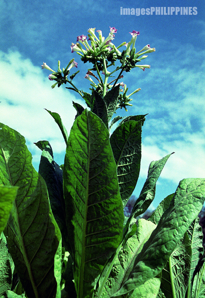 """Tobacco Leaves and Flowers"", 