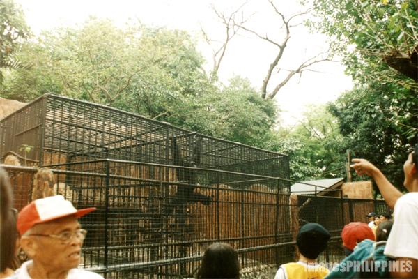 """""""A Frustrated Ape at his cage in Manila Zoo"""",  Place Taken: Metro Manila take on  Date Taken: 2002"""