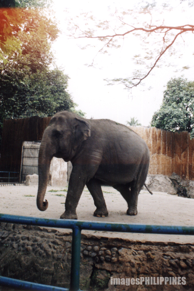 """An Elephant in Manila Zoo"", 