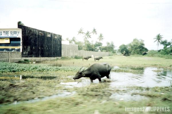 """""""Carabao cooling off in the mud"""",  Place Taken: Batangas take on  Date Taken: 2001"""