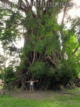 """""""Giant Balete Tree"""",  Place Taken: Aurora take on  Date Taken: 2005"""