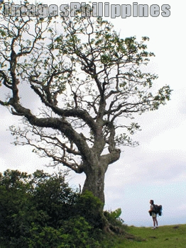 """""""Nice Tree"""",  Place Taken: Batangas take on  Date Taken: 2005"""