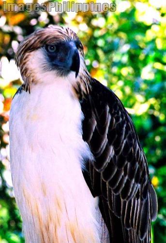 """eagle"",  Place Taken: Phil. Eagle, Davao City take on  Date Taken: 2006"