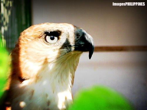 """Philippine Eagle"", 