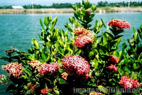 """""""santan"""",  Place Taken: Sarangani Province take on  Date Taken: 2004"""