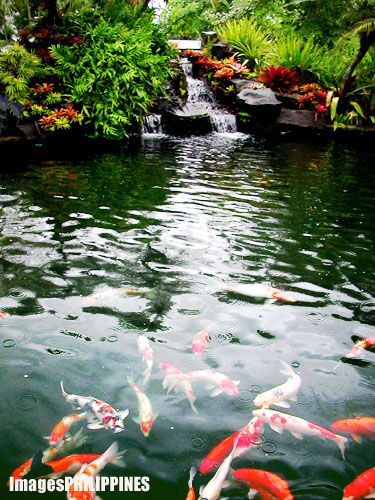 Koi Pond Place Taken Rizal Philippines Images