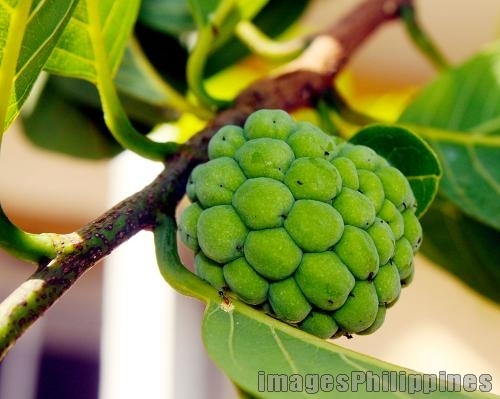 Atis, 