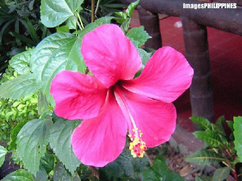 """Santan Flower"" , 