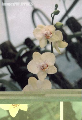 """'Orchid No.3"""",  Place Taken: Davao Flower Center, Davao City take on  Date Taken: 2003"""