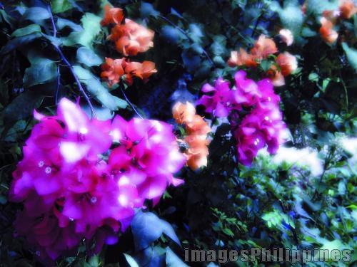 """""""bugenvilla"""",  Place Taken: Misamis Oriental take on  Date Taken: 2008"""