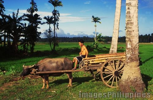 A carabao pulls wooden carriage used in farm, 