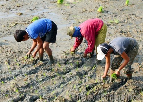 Planting Rice,  Place Taken:  Cavite take on  Date Taken: 2010