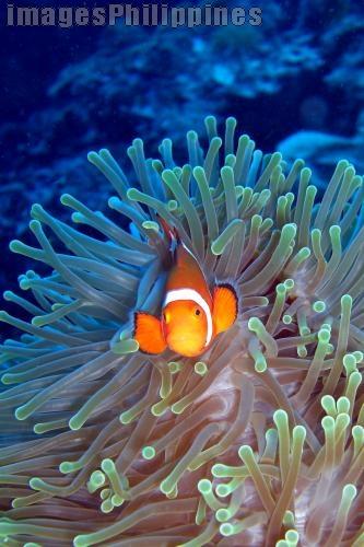 """""""Nemo"""",  Place Taken: Bohol take on  Date Taken: 2008"""