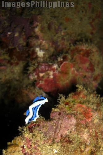 """""""Nudibranch"""",  Place Taken: Batangas take on  Date Taken: 2008"""