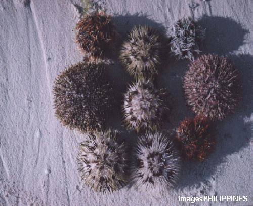 """""""Sea Urchins"""",  Place Taken: Candabong, Anda, Bohol take on  Date Taken: 2003"""
