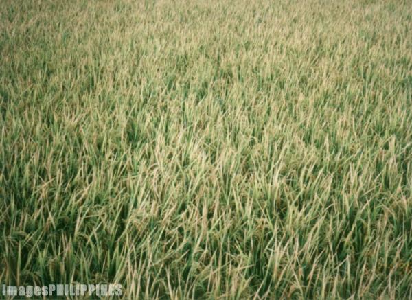�Rice Field�,  Place Taken: Laguna take on  Date Taken: 1996