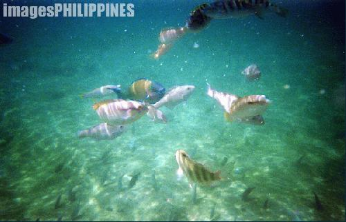 """Coral Garden, Puerto Galera"", 