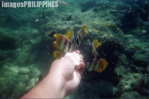 """Feeding the fishes in Coral Garden"",  Place Taken: Puerto Galera, Mindoro Oriental take on  Date Taken: 2004"