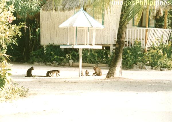 Monkeys scavenging in El Nido,   take on  Date Taken: 1996