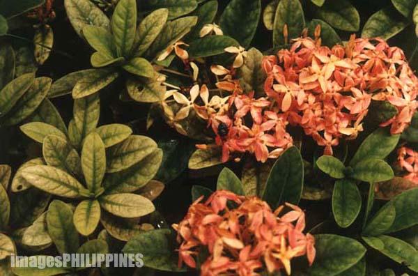 """Santan Flowers"",  Date Taken: 2000 take on  Photographer/Artist: Joel Abelida"