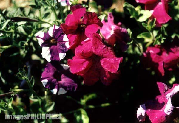 """Gumamela Flowers"",  take on  Date Taken: 2000"