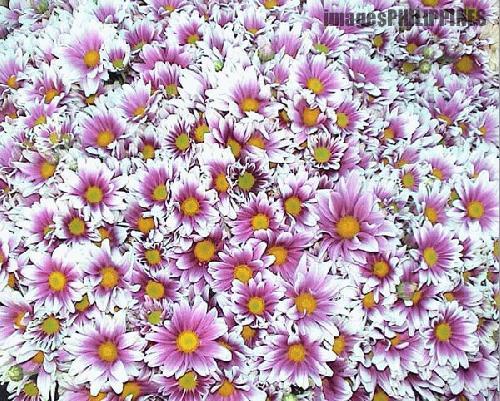 """Flowers of Baguio"",  Place Taken: Baguio City take on  Date Taken: 2004"