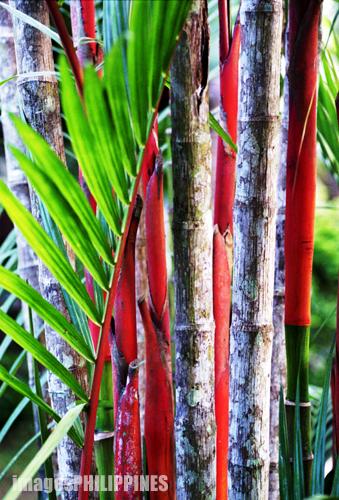 """""""Red Palm at the Farm"""",  Place Taken: Lipa City take on  Date Taken: 2002"""