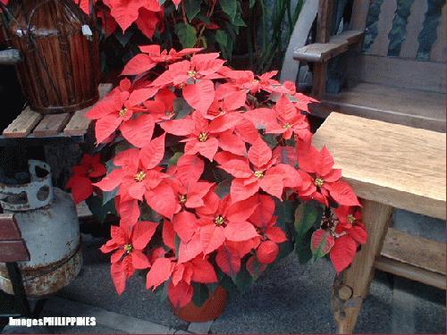 """Red Poinsettia"",  Place Taken: Baguio City take on  Date Taken: December 2003"