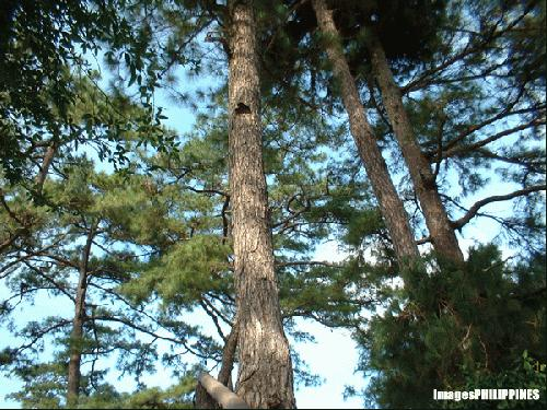 """""""Pine Trees"""",  Place Taken: Baguio City take on  Date Taken: December 2003"""